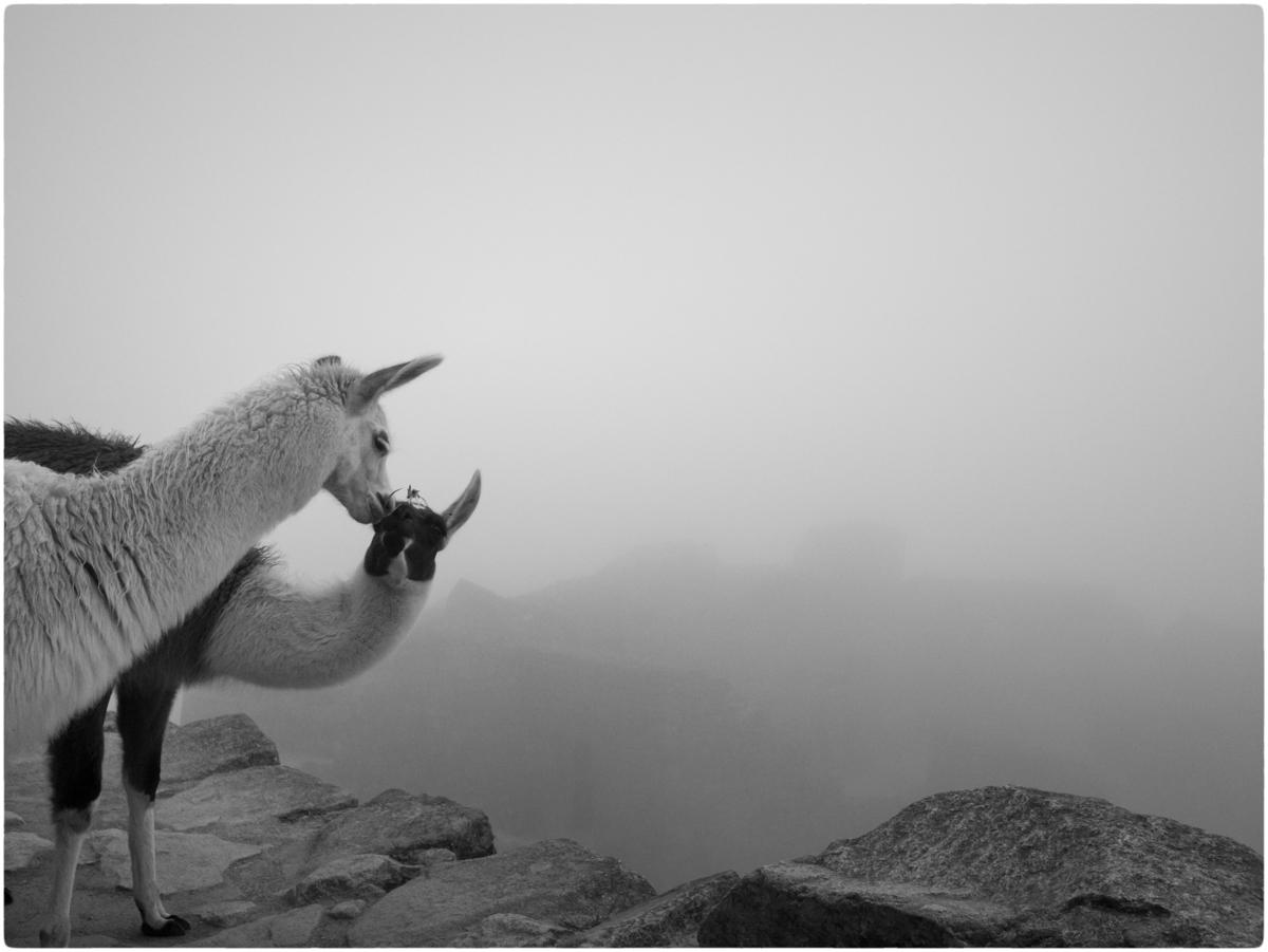 Alpaca-Machu-Picchu-MW