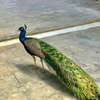 Photo of a beautiful friendly peacock looking for food in an art gallery in Old Havana, Cuba.