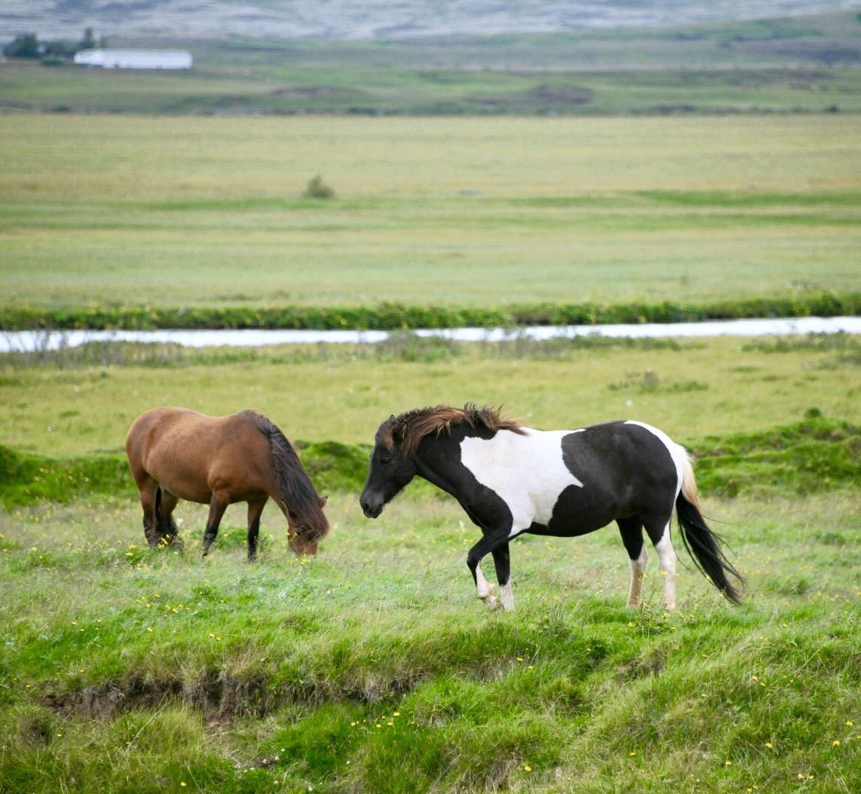 Icelandic horses, Hvassafell, Eyjafjöllum