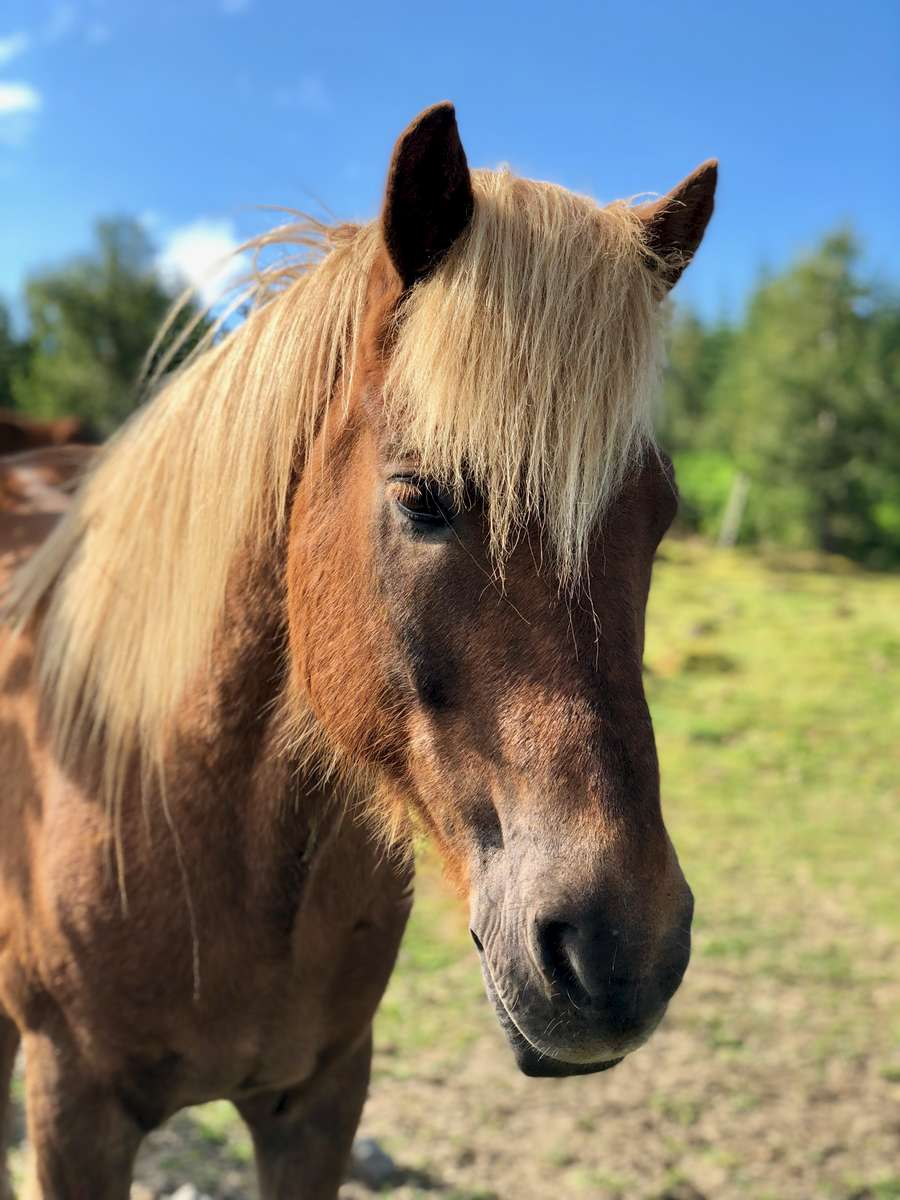 Icelandic horse at Íshester Farms