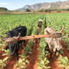 Photo of a Cuban farmer tilling his tobacco field with his oxen in Viñales, Cuba.