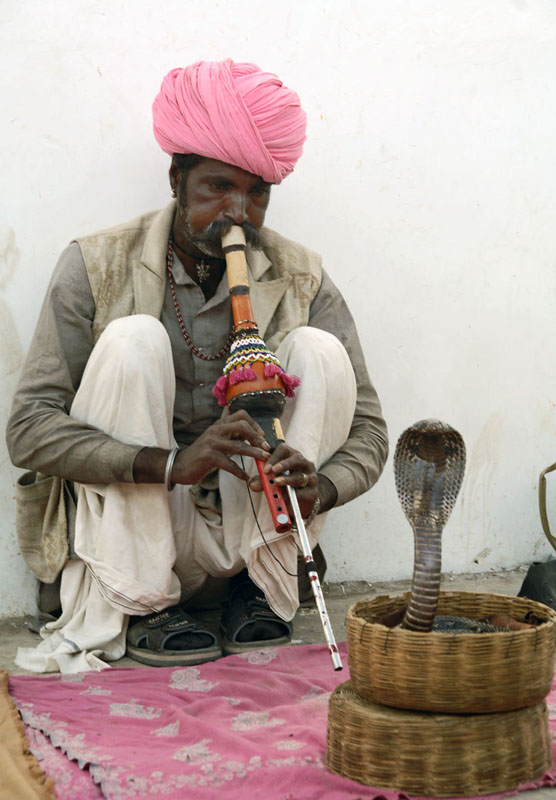 This is a photo of a snake charmer in Rajasthan, India wearing a turban and playing a flute. In front of him in a basket is a cobra snake with his head flattened rearing up at him.