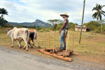 Photo of a Cuban farmer on his wooden sled driving his oxen out in the country