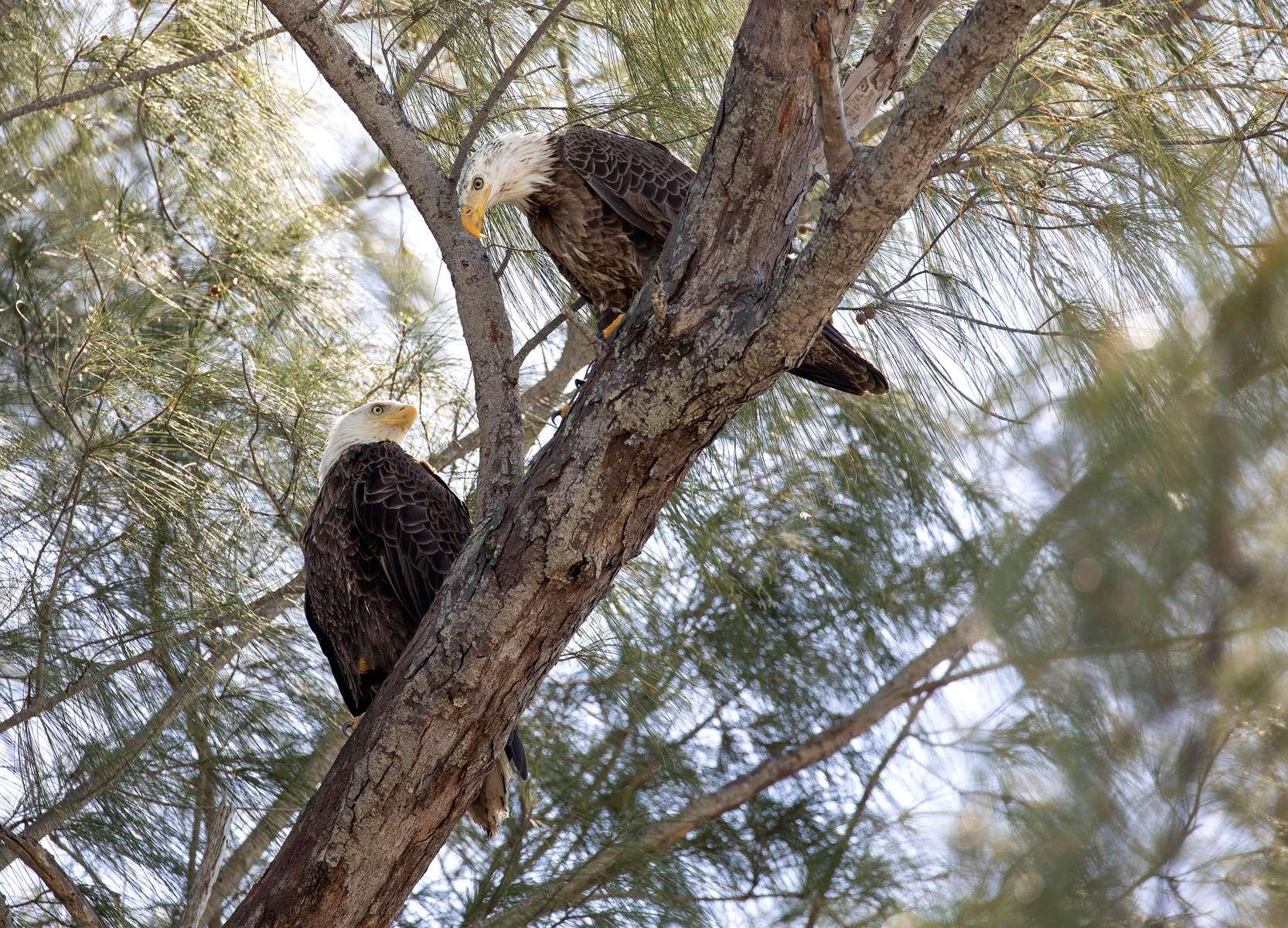 Bald Eagle Pair. Florida