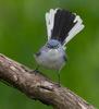 Blue-Gray Gnatcatcher. Indiana