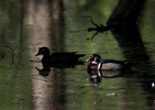 Wood Duck. Indiana