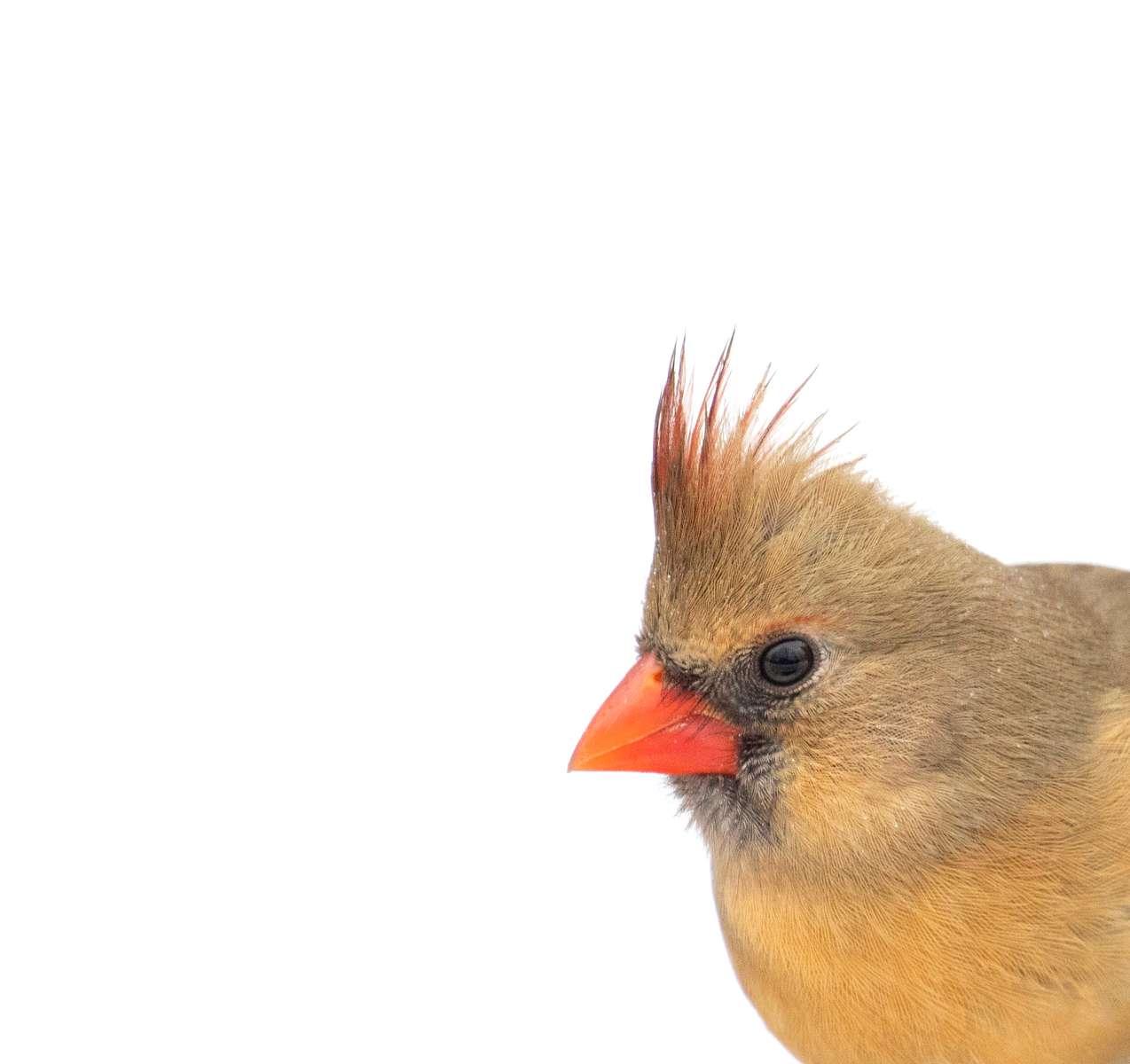 Female Cardinal, Indiana
