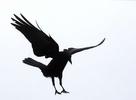 Fish Crow. Florida