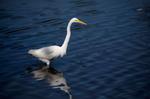 Great Egret. Florida