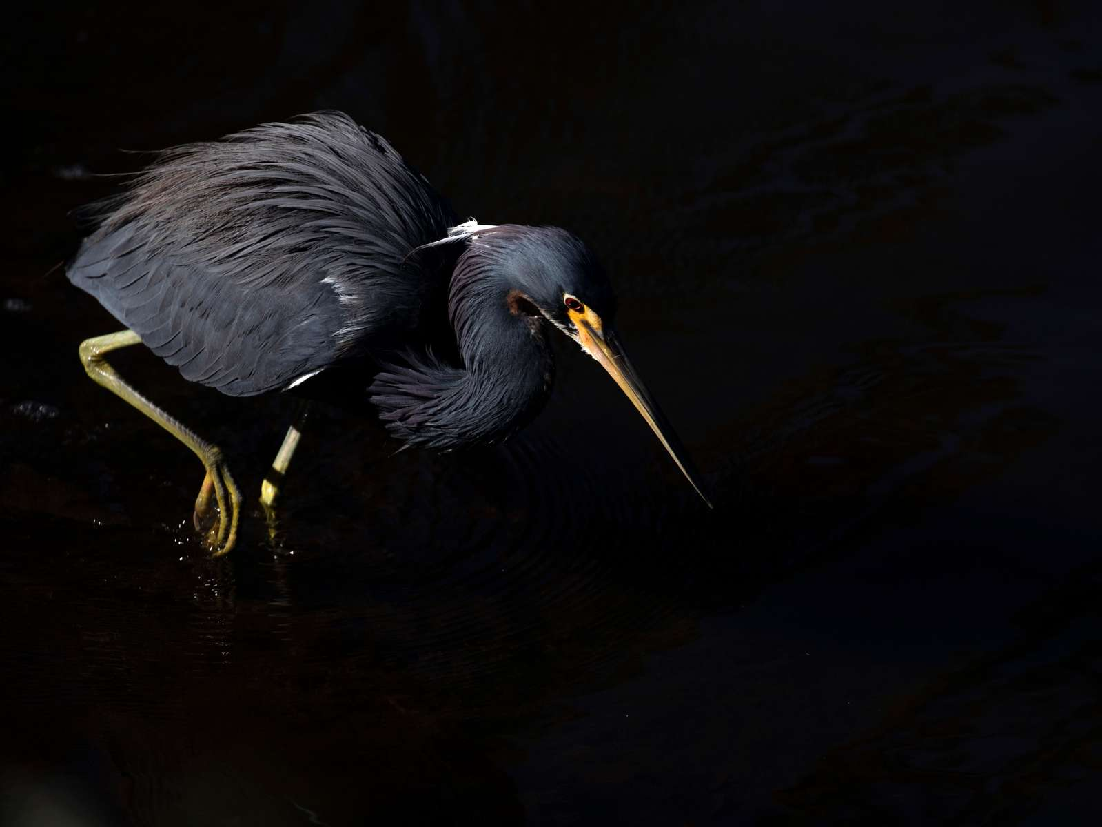 Little Blue Heron. Florida