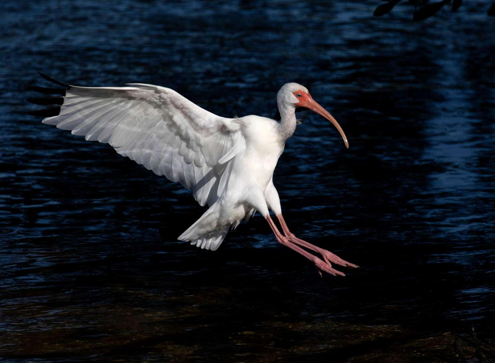 White Ibis. Florida