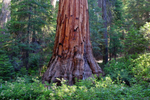 Giant Sequoia, Yosemite National Park
