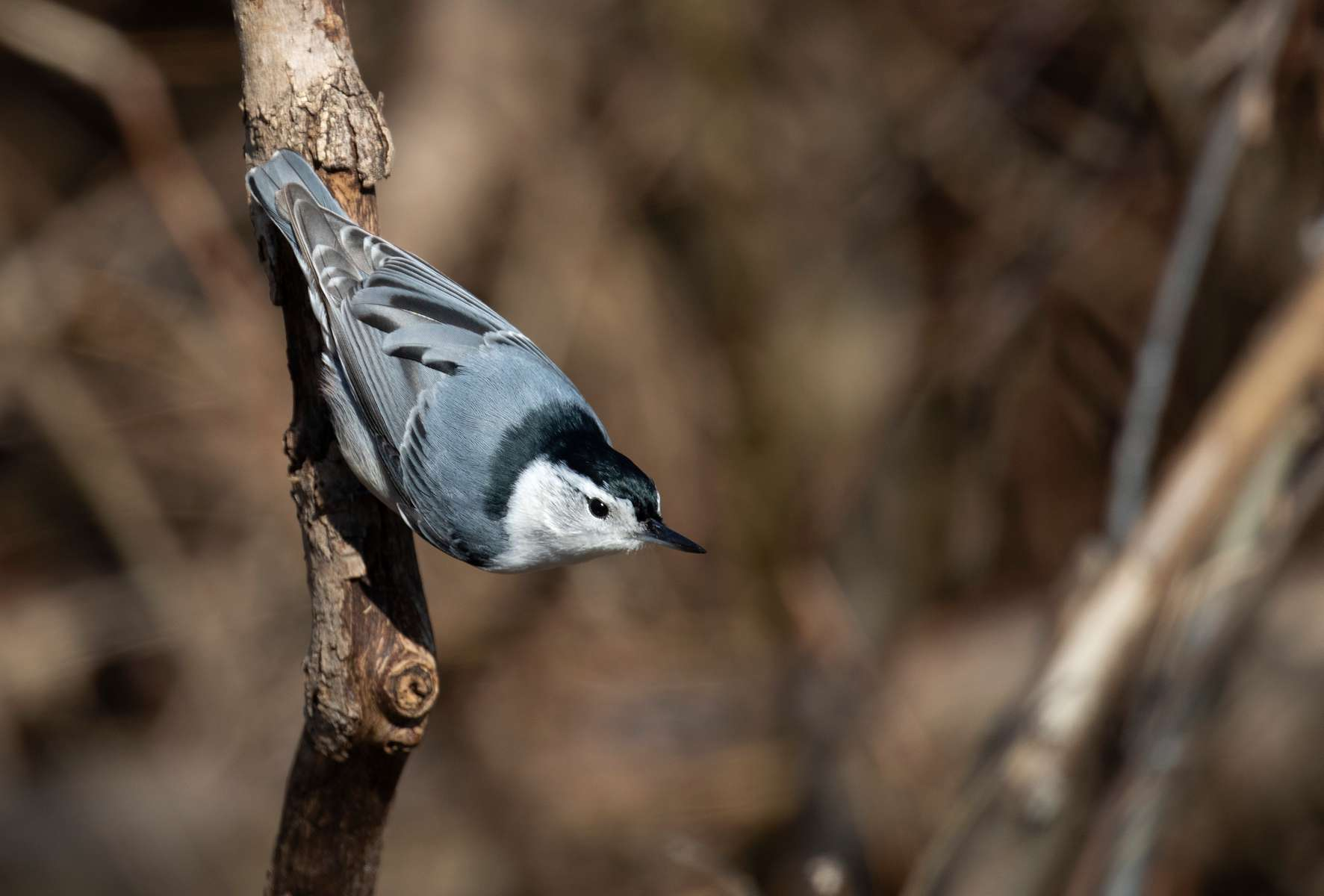 White Breasted Nuthatch. Indiana