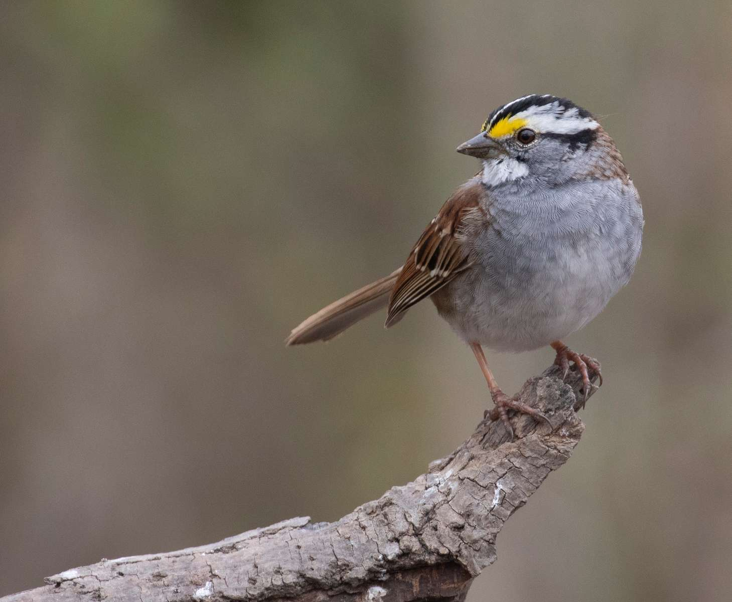White Throated Sparrow. Indiana