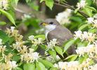 Yellow-Billed Cuckoo. Indiana
