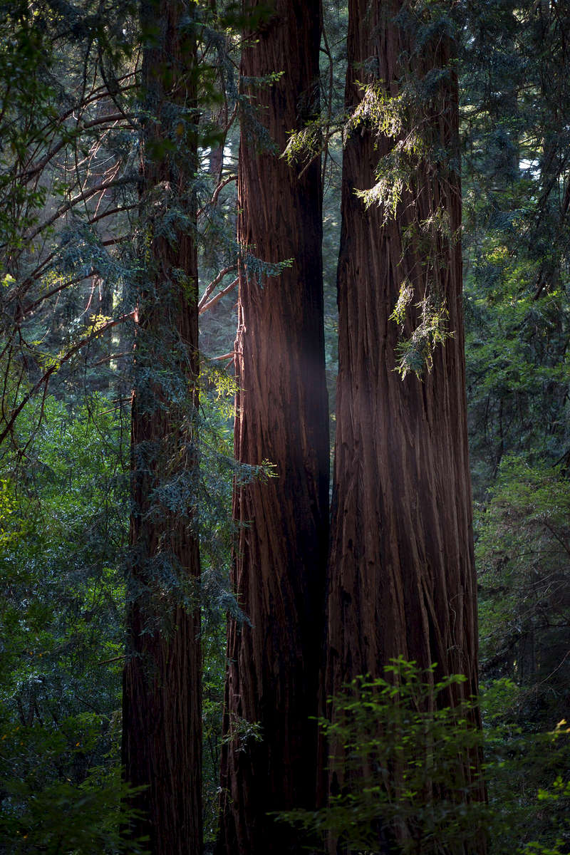 Muir Woods National Park, California, USA