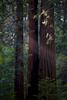 Muir Woods, USA