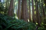 Jedediah Smith Redwoods State Park, USA