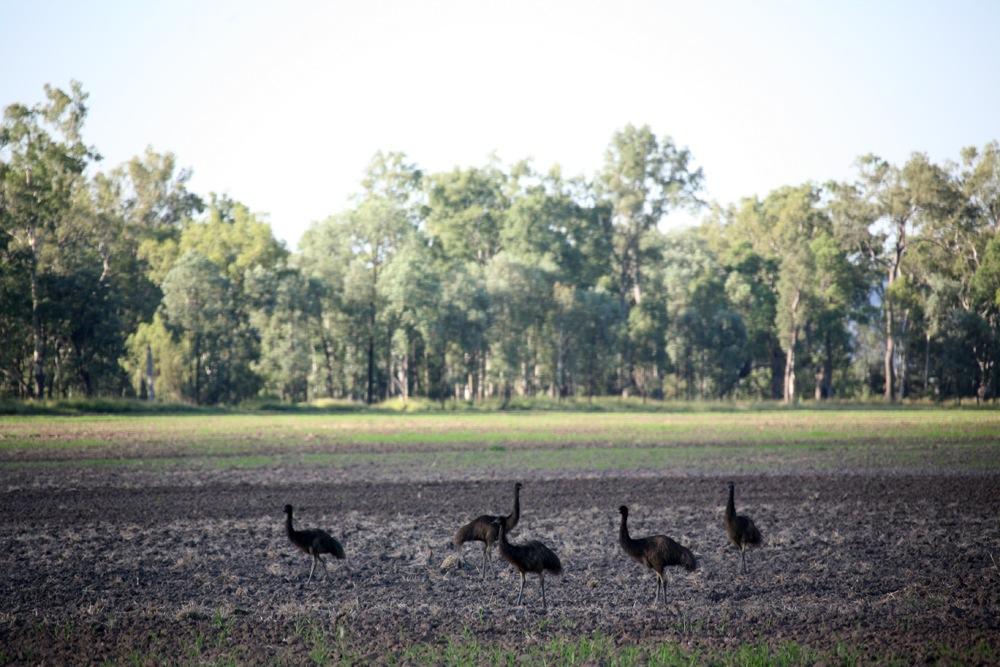 Wild Emus - Queensland, Australia
