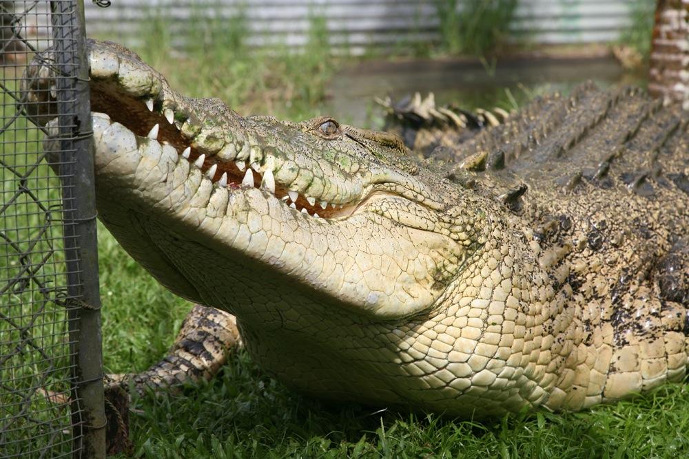 Johnstone River Crocodile Farm - Eaton, Queensland - Australia