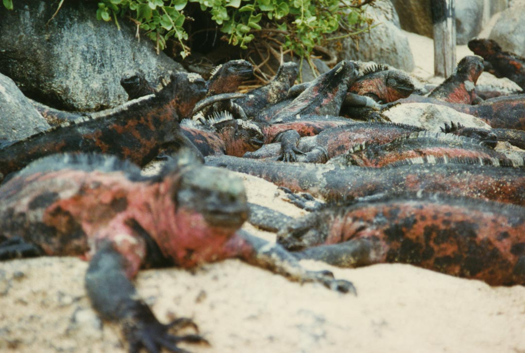 The Marine Iguana is an iguana found only on the Galápagos Islands that has the ability, unique among modern lizards, to live and forage in the sea, making it a marine reptile. Española Island, Galápagos - Ecuador