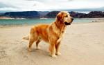 My childhood dog, Watson Golden Bear proudly standing guard. Lake Mead - Nevada