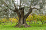 20121120_OliveTrees-101_PS