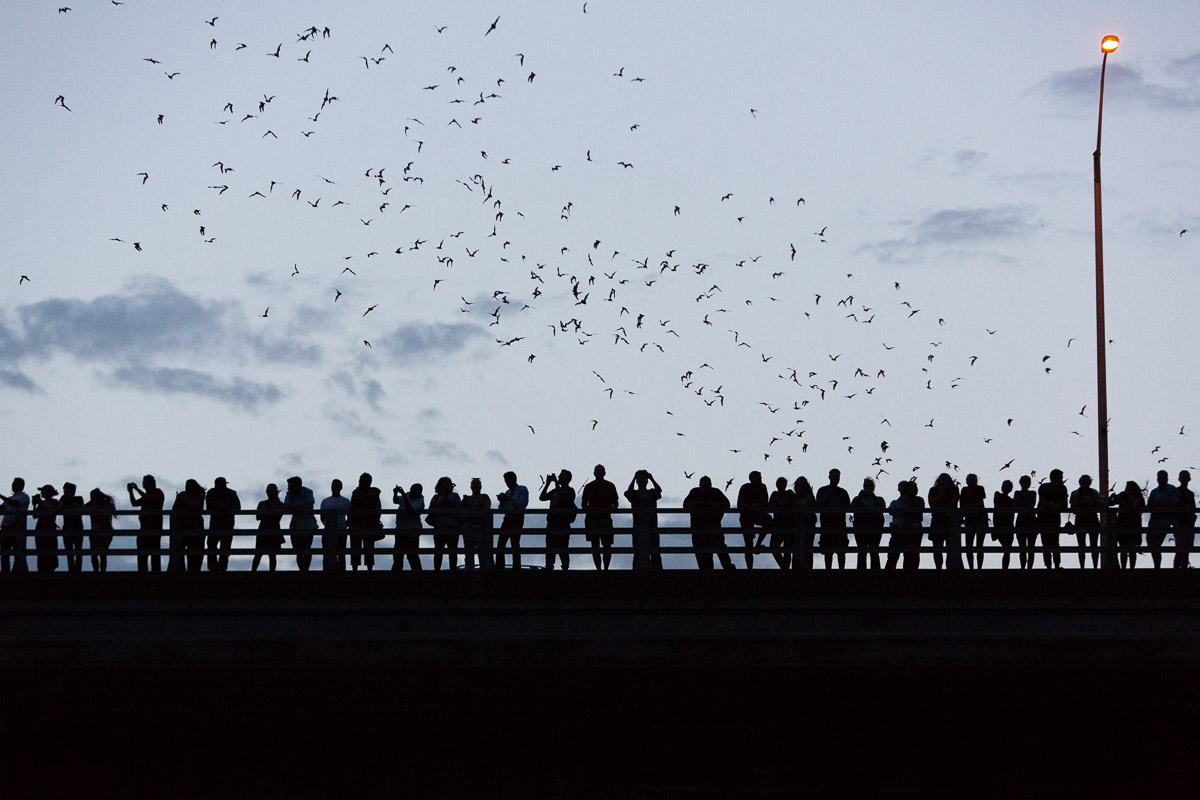 Bats fly from under the Congress Ave. Bridge in Austin, Tx.