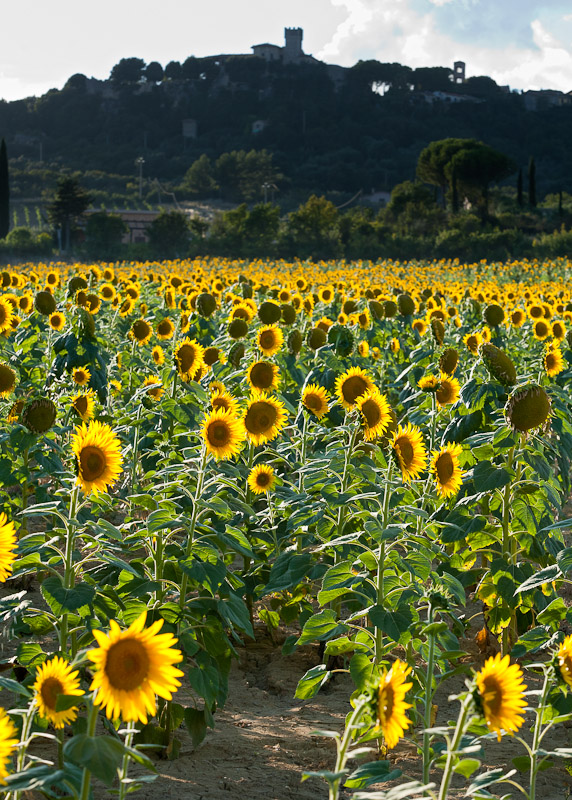 Sunflowers in Saturnia, Tuscany.