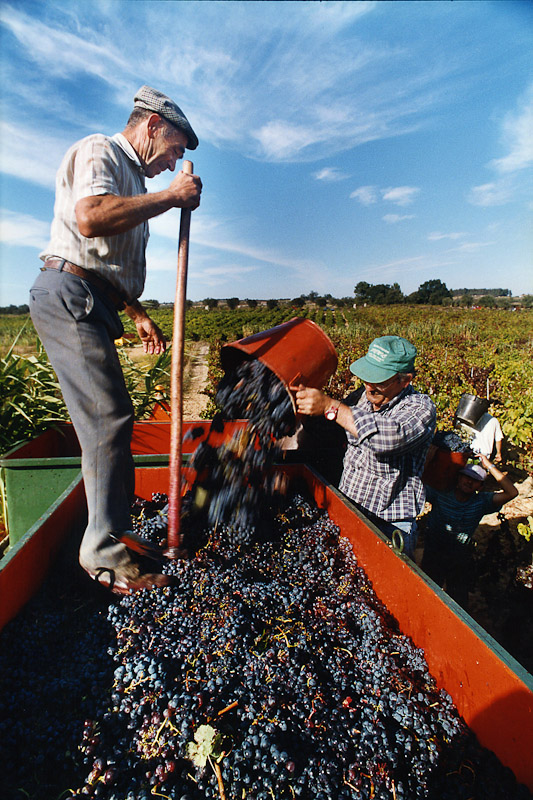 Harvesting grapes for wine during vindimas in Portugal.