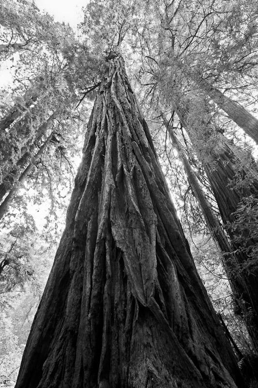 Muir Woods in Marin County, Ca.