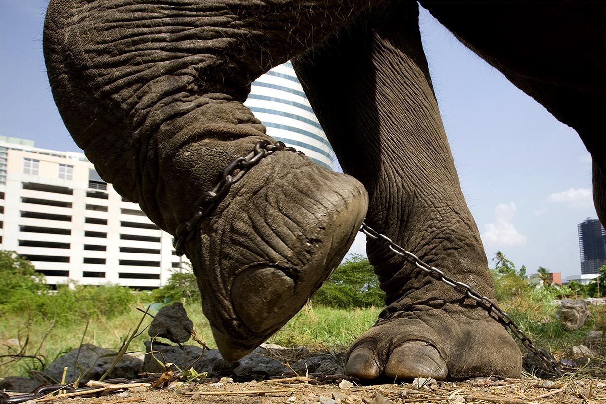 A shackled domesticated elephant pulls on it's chain at patch of land in Bangkok.