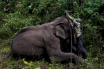 A mahout prepares his elephant for a day of work logging in an area near Hongsa in Lao PDR.