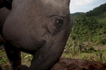 An elephant uses its trunk to push a log down a hill in an area near Hongsa in Lao PDR.
