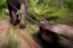 An elephant pulls a log in an area near Hongsa in Lao PDR.