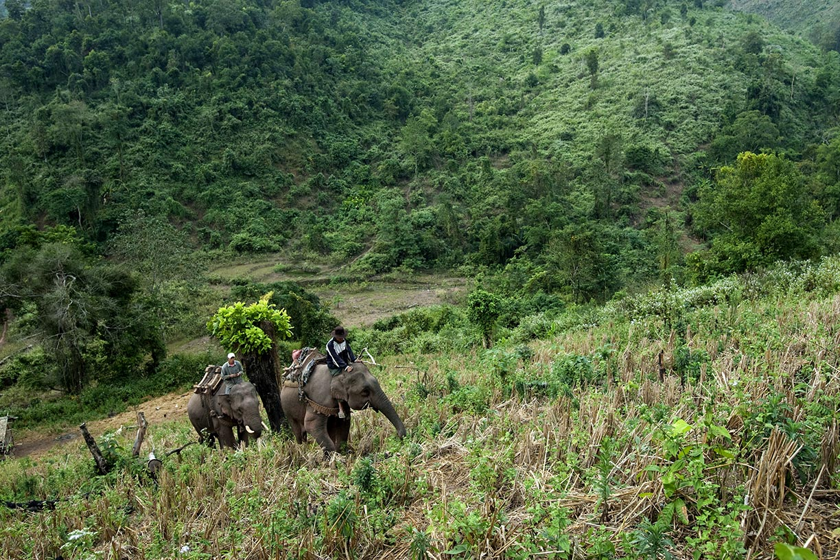 Mahouts and their elephants climb a mountain in search of logs in an area near Hongsa in Lao PDR.