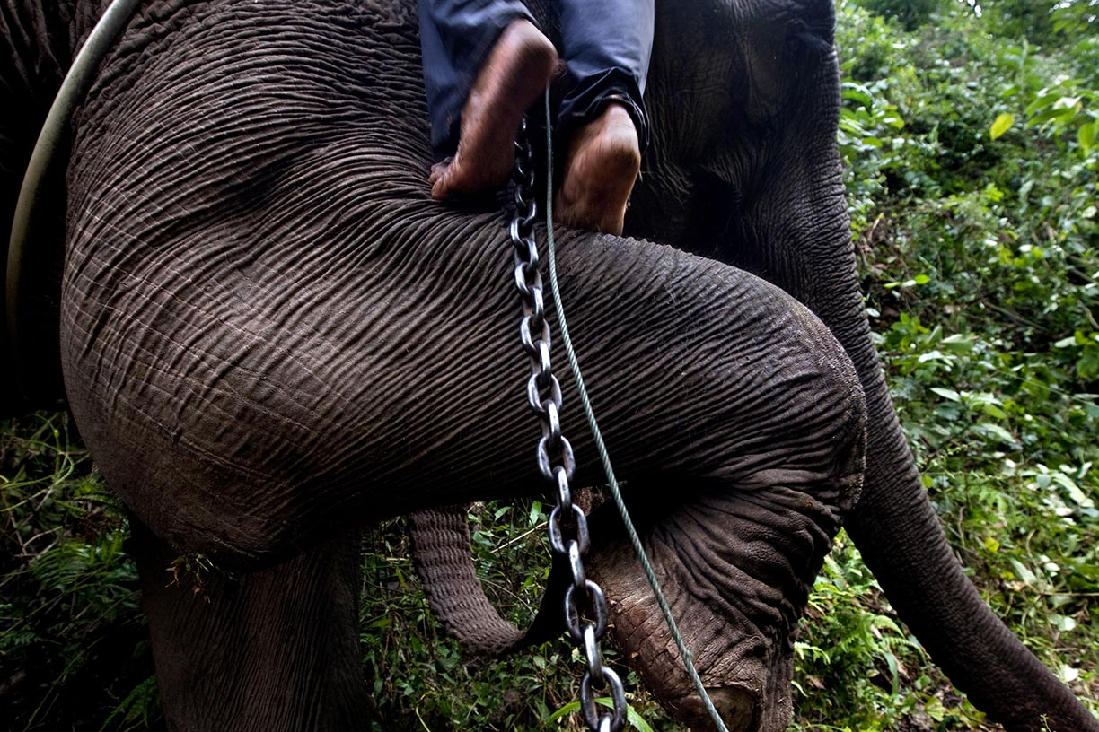 An elephant helps its mahout prepare for a day of work logging in an area near Hongsa in Lao PDR.