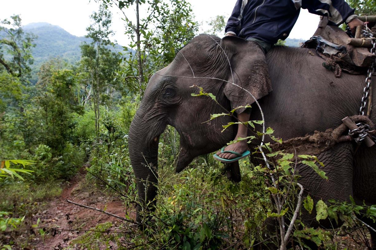 An elephant cries out in pain as it attempts to move in an area near Hongsa in Lao PDR.