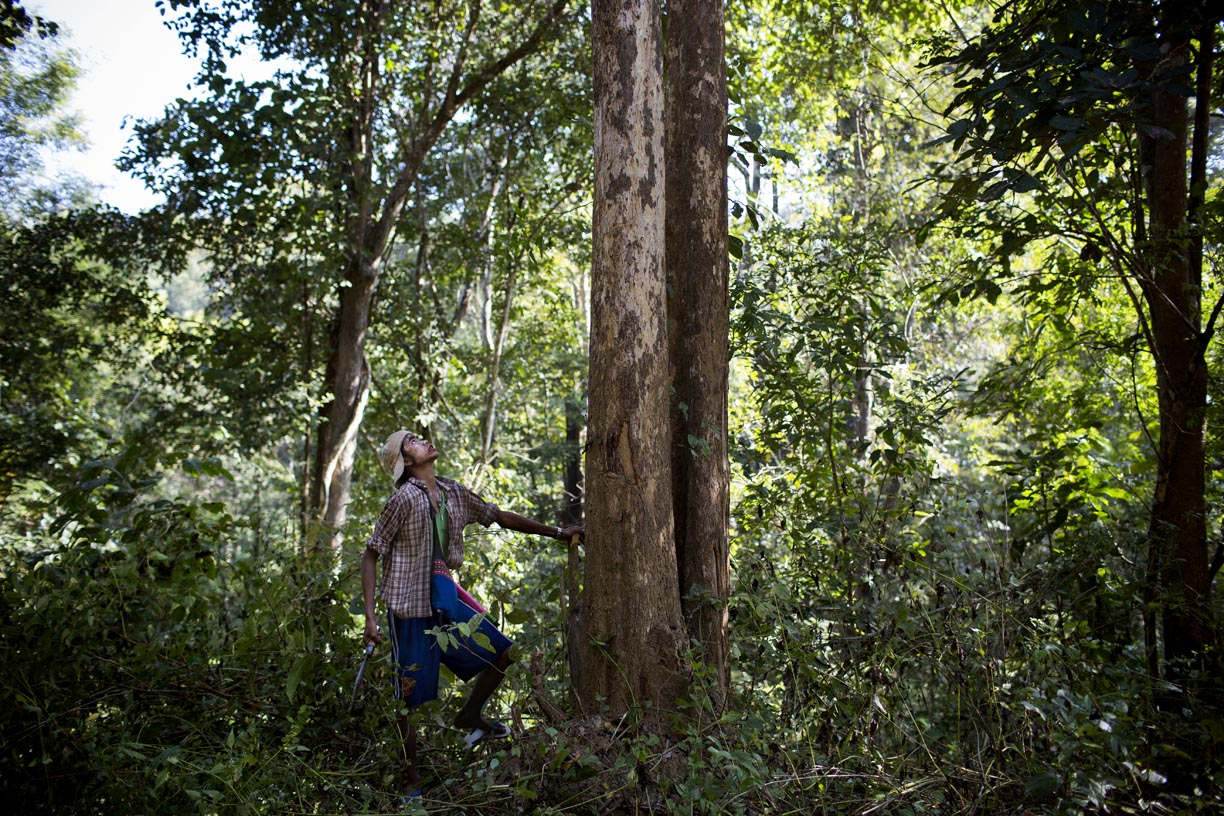 An oozie, or mahout, prepares to cut down a tree in the Yoma mountain range.