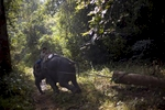 An elephant pulls a log out from the jungle in the Yoma mountain range.