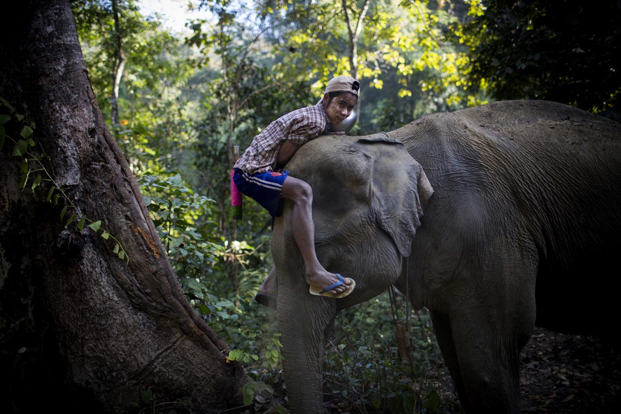 An oozie, or mahout, mounts his elephant in the Yoma mountain range.