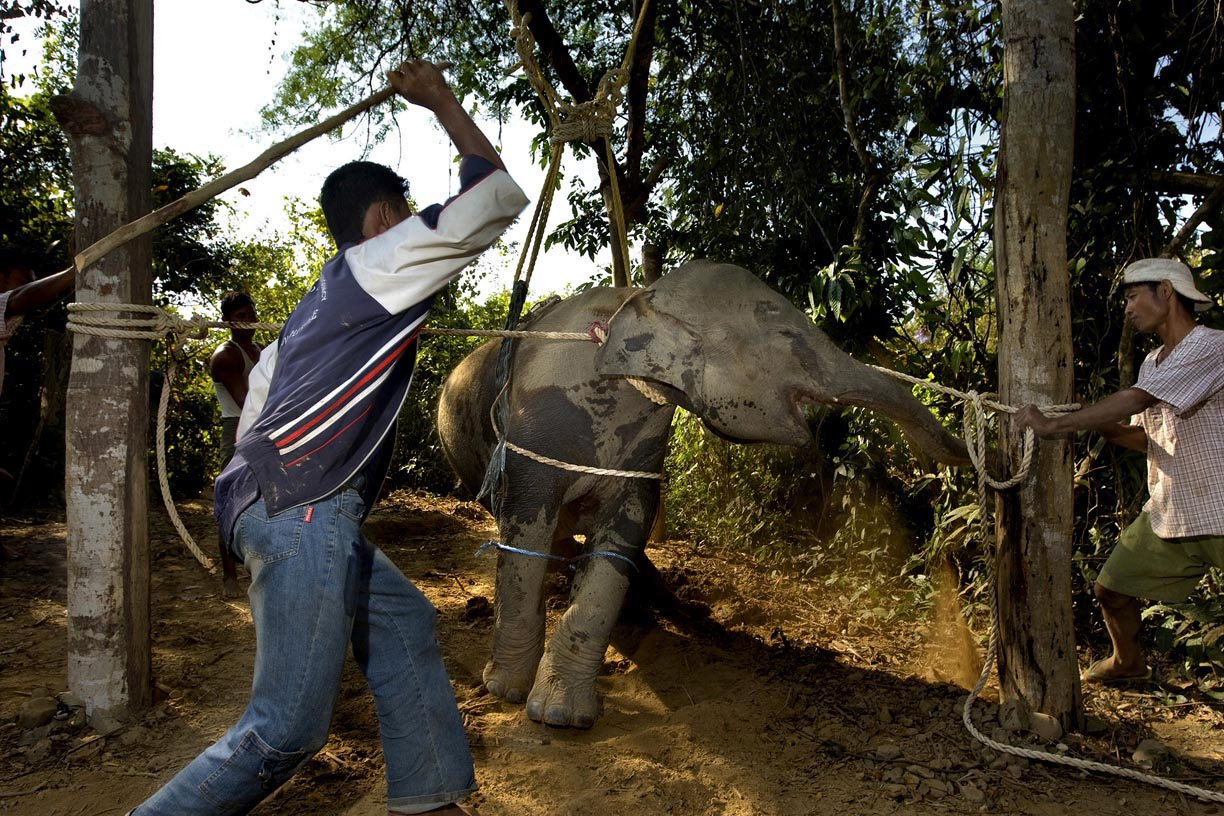 A baby elephant braces for a hit during a training session in a Karen village in Myanmar. The training session is coined the 'crush' as the goal is to break the elephant's spirit. Wild elephants are typically tied up and beaten for 3 days straight and left to starve. Burmese mahouts near the Thai border operate a clandestine and illegal trade network smuggling elephants into Thailand to be sold to mahouts for the Thai tourism industry. Officials estimate that 1 Burmese elephant is smuggled into Thailand every week.