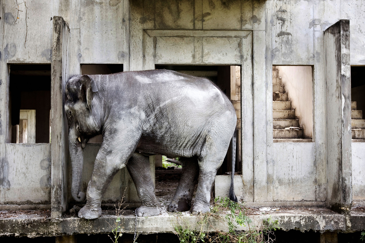 An elephant scratches its head on a wall at an abandoned housing development in Bang Bua Thong, Thailand.