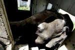 An elephant roams inside a room at an abandoned housing development in Bang Bua Thong, Thailand.
