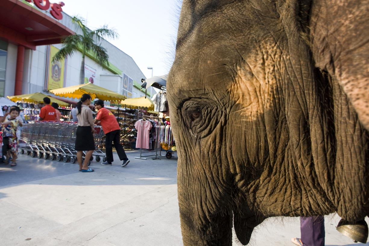 An elephant stands in front of a shopping centre in Bangkok.