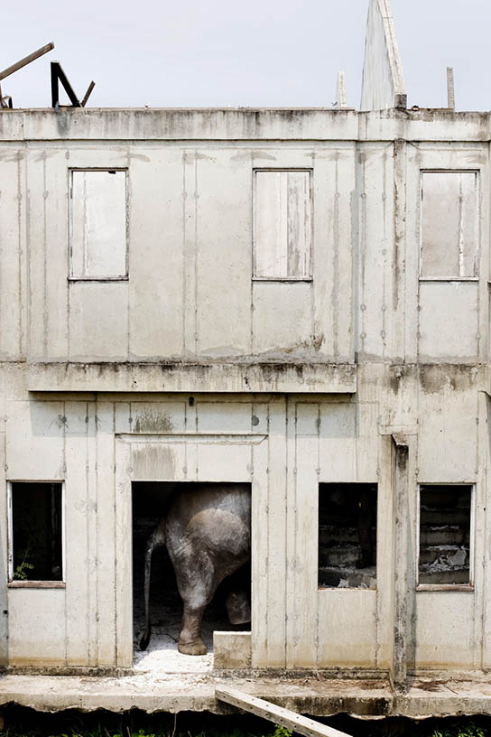 An elephant prepares to walk up the stairs at an abandoned housing development in Bang Bua Thong, Thailand.