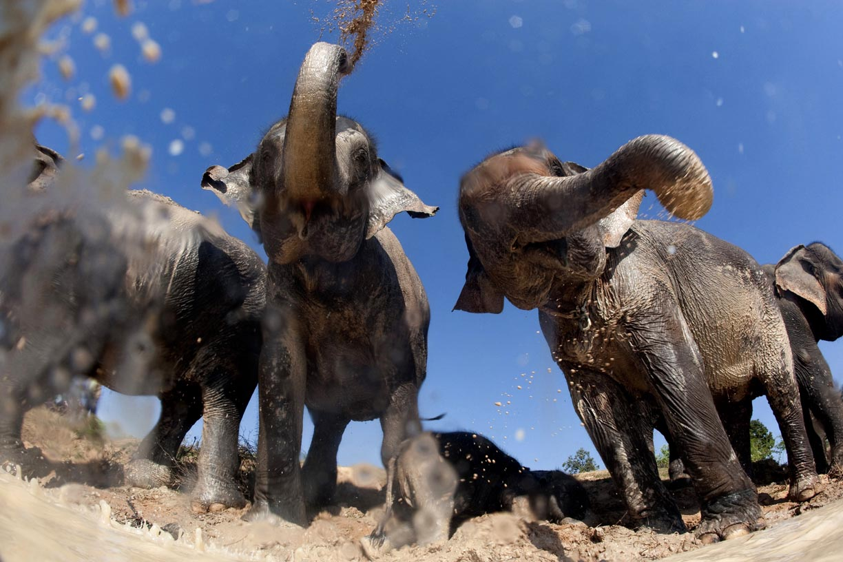 Elephants spray mud on their bodies to cool down in the village of Ban Tha Klang, Thailand.