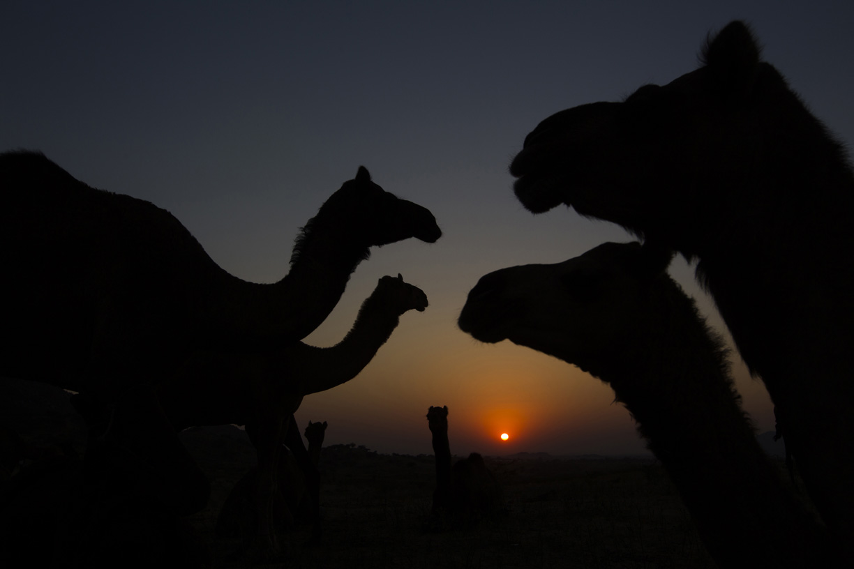 Camels stand in the desert in Pushkar.