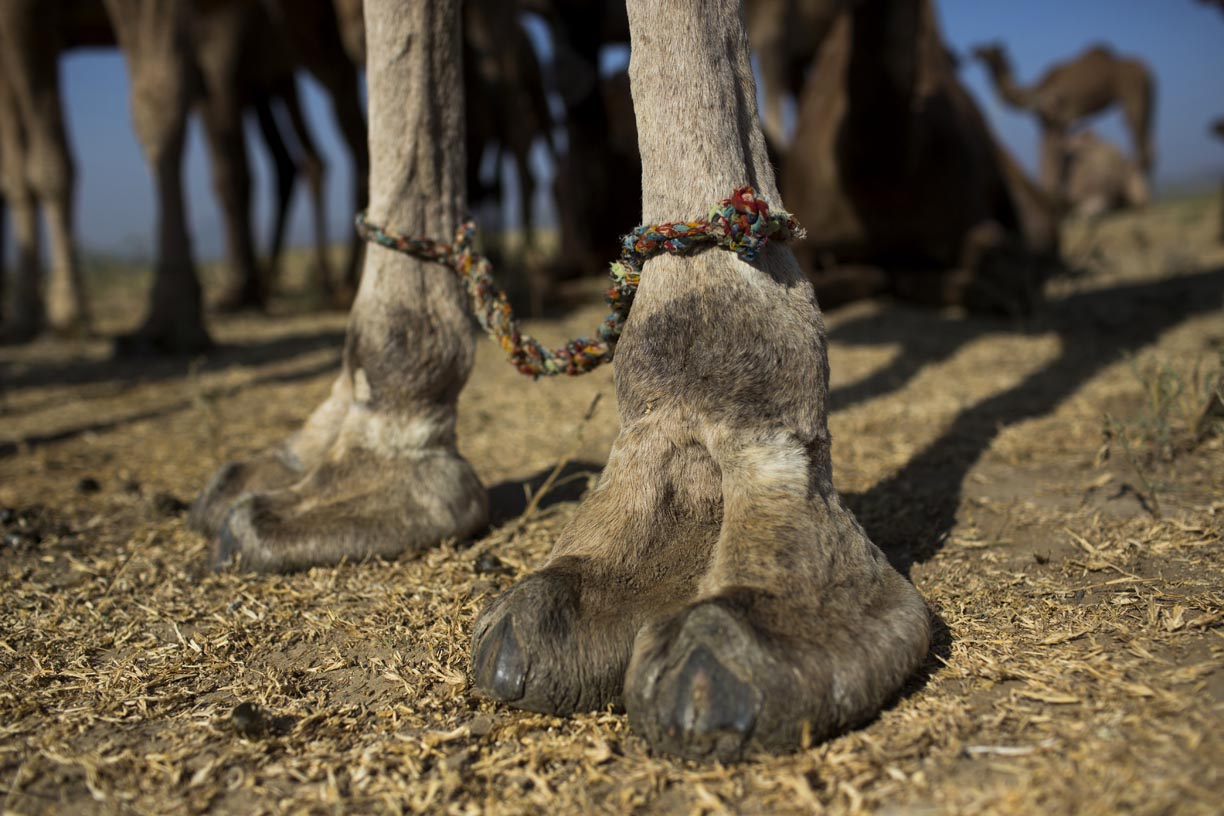 A camel's feet stand bound in Pushkar.