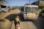 A camel walks on the street in Pushkar.